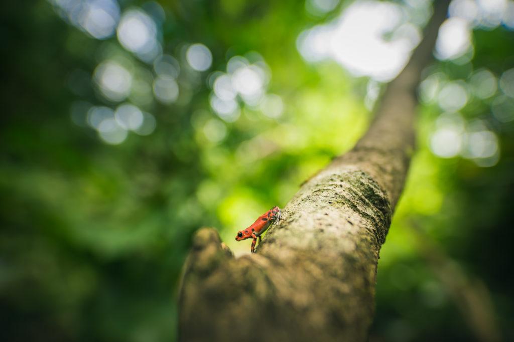 Red Frog žijící v džungli vedle hotelového resortu na ostrově Bastimentos