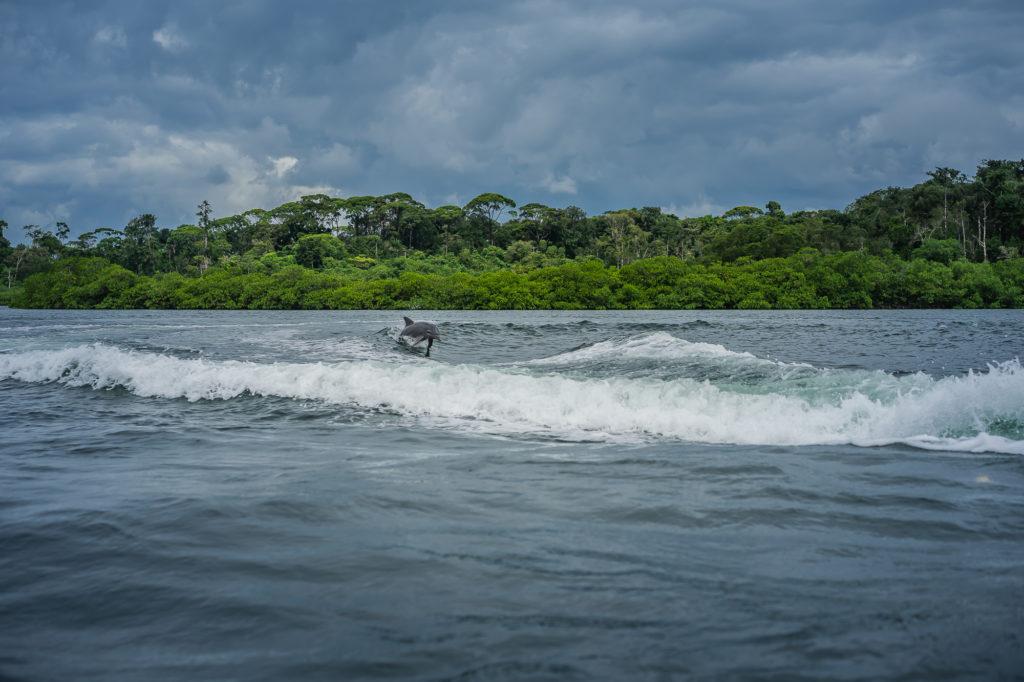 Delfíni skotačící ve vlnách u ostrova Bastimentos